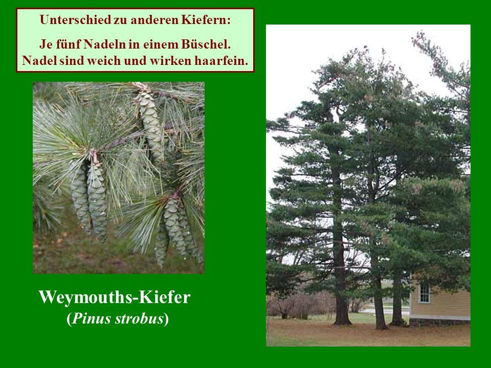 Weymouths-Kiefer (Pinus strobus) Unterschied zu anderen Kiefern: Je fünf Nadeln in einem Büschel. Nadel sind weich und wirken haarfein.