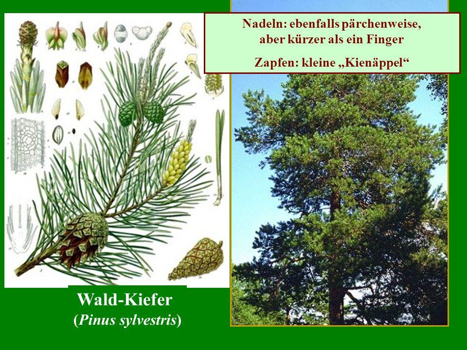 Nadeln: ebenfalls pärchenweise, aber kürzer als ein Finger Zapfen: kleine Kienäppel Wald-Kiefer (Pinus sylvestris)
