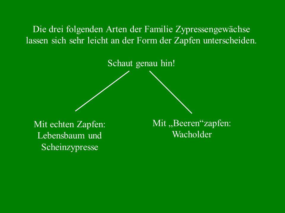 Die drei folgenden Arten der Familie Zypressengewächse lassen sich sehr leicht an der Form der Zapfen unterscheiden. Schaut genau hin! Mit echten Zapf