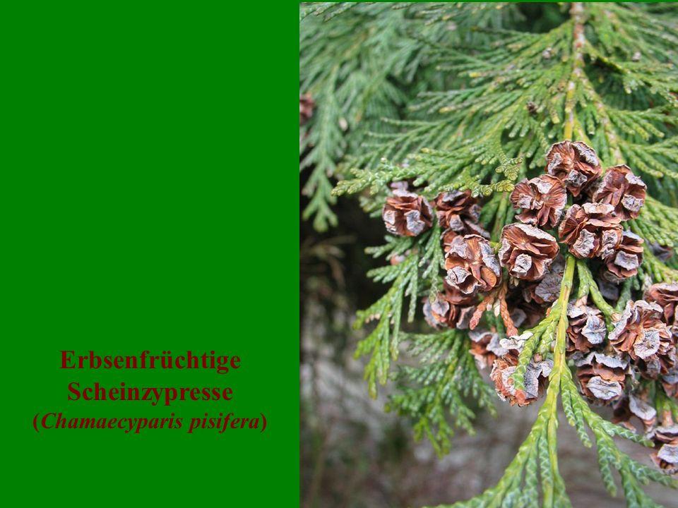 Erbsenfrüchtige Scheinzypresse (Chamaecyparis pisifera)