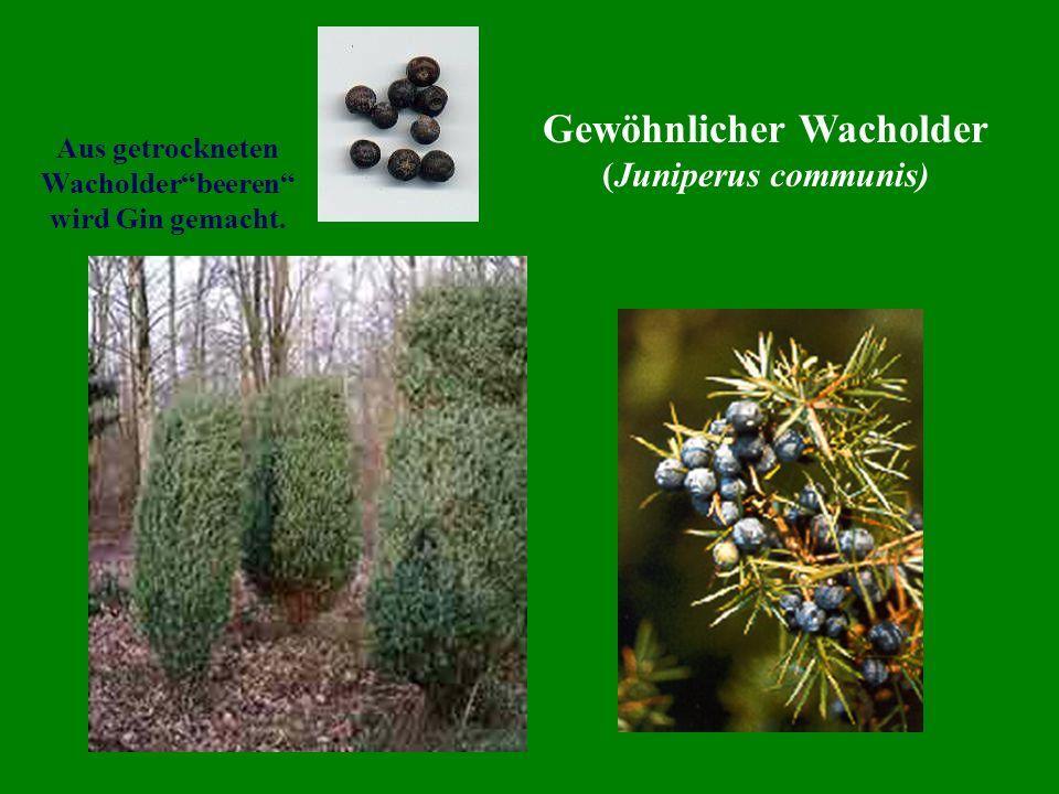 Gewöhnlicher Wacholder (Juniperus communis) Aus getrockneten Wacholderbeeren wird Gin gemacht.