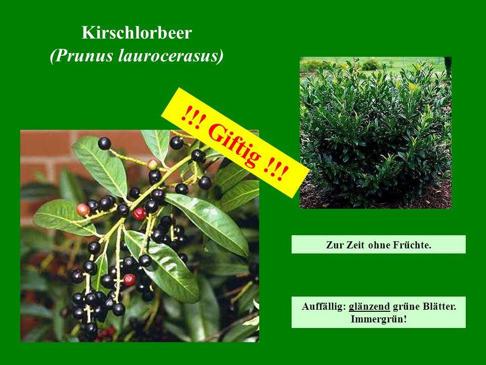 Kirschlorbeer (Prunus laurocerasus) !!! Giftig !!! Auffällig: glänzend grüne Blätter. Immergrün! Zur Zeit ohne Früchte.