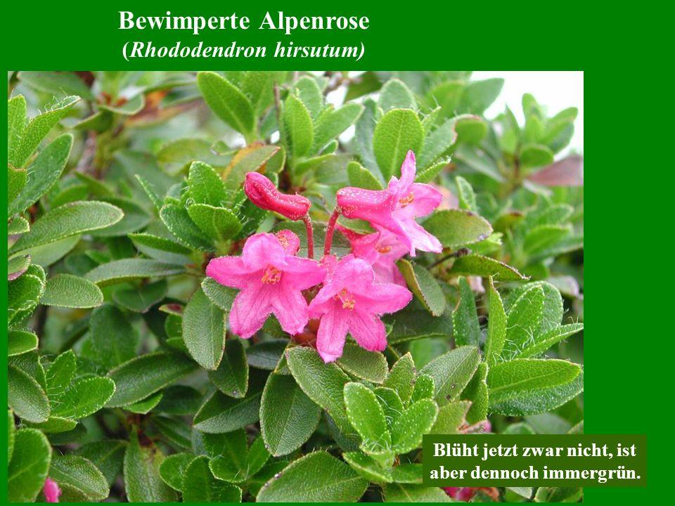 Bewimperte Alpenrose (Rhododendron hirsutum) Blüht jetzt zwar nicht, ist aber dennoch immergrün.