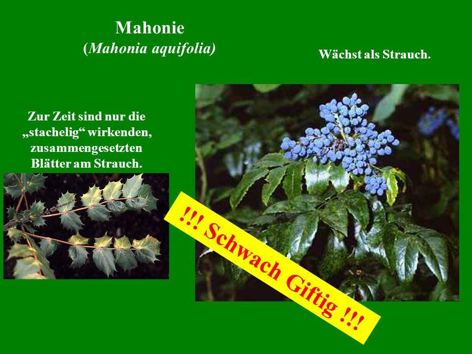 Wächst als Strauch. Zur Zeit sind nur die stachelig wirkenden, zusammengesetzten Blätter am Strauch. Mahonie (Mahonia aquifolia) !!! Schwach Giftig !!
