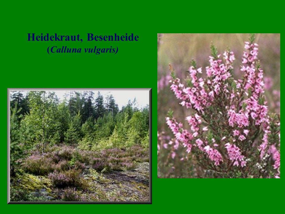 Heidekraut, Besenheide (Calluna vulgaris)
