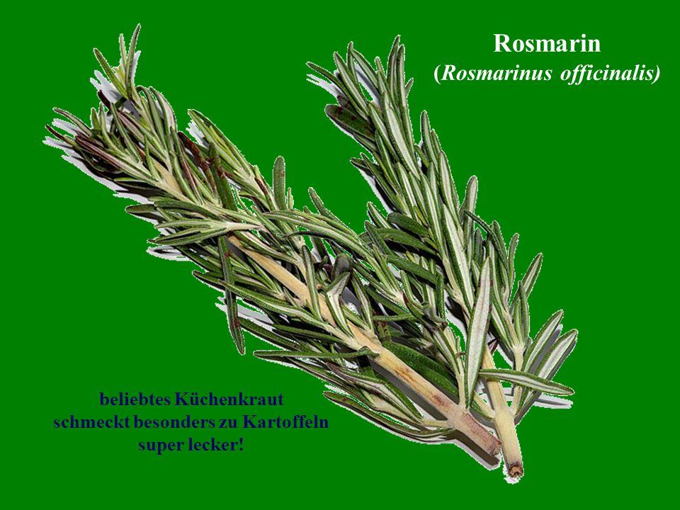 beliebtes Küchenkraut schmeckt besonders zu Kartoffeln super lecker! Rosmarin (Rosmarinus officinalis)