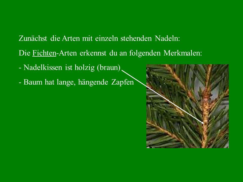 Zunächst die Arten mit einzeln stehenden Nadeln: Die Fichten-Arten erkennst du an folgenden Merkmalen: - Nadelkissen ist holzig (braun) - Baum hat lange, hängende Zapfen