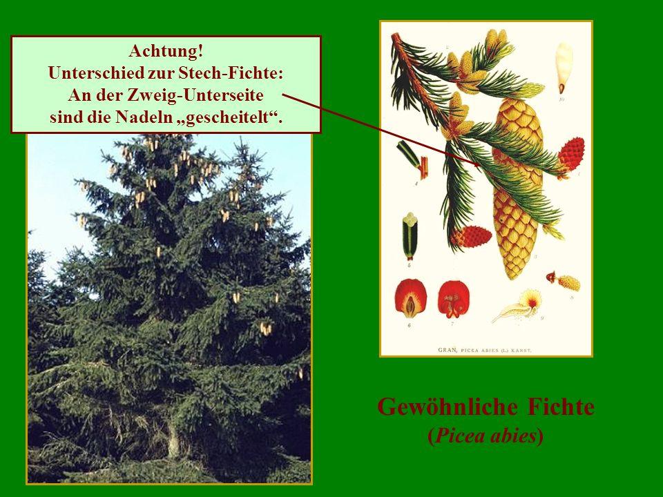 Gewöhnliche Fichte (Picea abies) Achtung! Unterschied zur Stech-Fichte: An der Zweig-Unterseite sind die Nadeln gescheitelt.