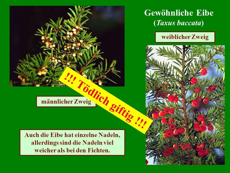 Gewöhnliche Eibe (Taxus baccata) männlicher Zweig weiblicher Zweig Auch die Eibe hat einzelne Nadeln, allerdings sind die Nadeln viel weicher als bei