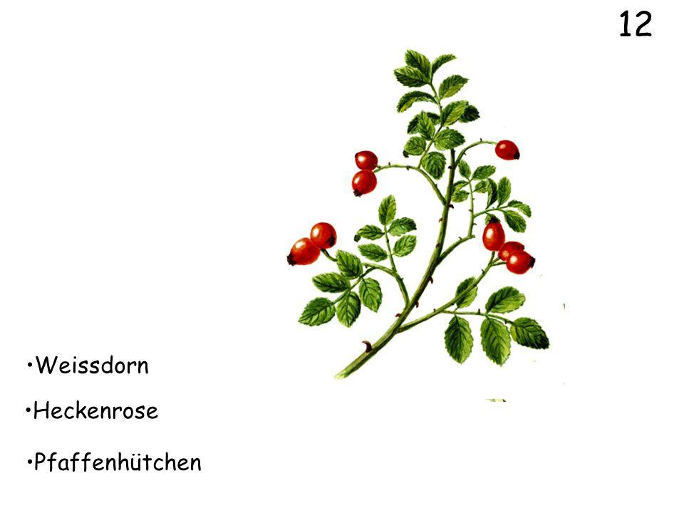 10 Weissdorn Bergahorn Feldahorn