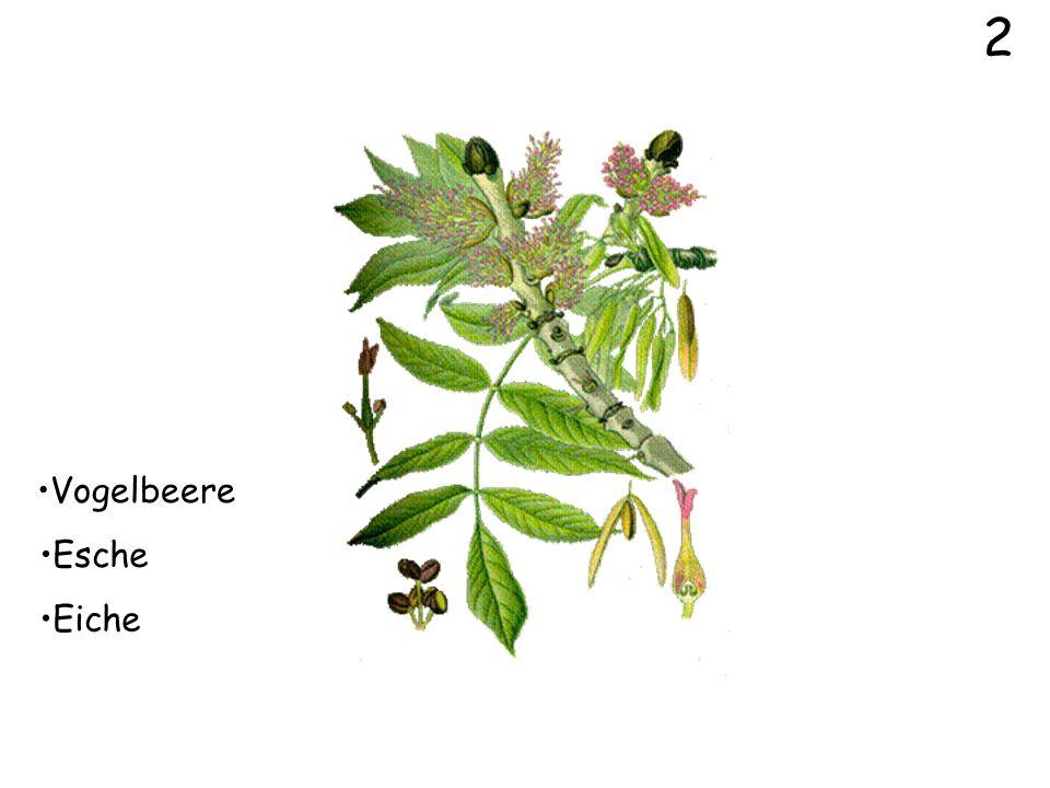 0 Klicke dich durch folgenden Bilder von Baum- und Straucharten. Immer zwei Lösungen sind falsch und eine ist richtig. Klickst du die Richtige an, kom