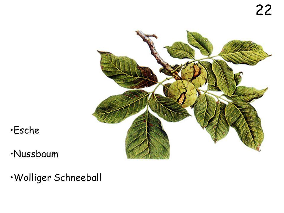 Wolliger Schneeball Weissdorn Schwarzer Holunder 20
