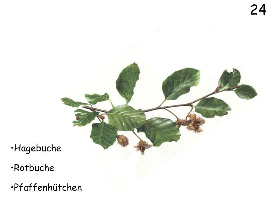 22 Nussbaum Wolliger Schneeball Esche