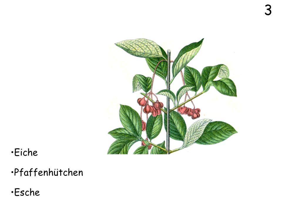Eiche 1 Weissdorn Feldahorn
