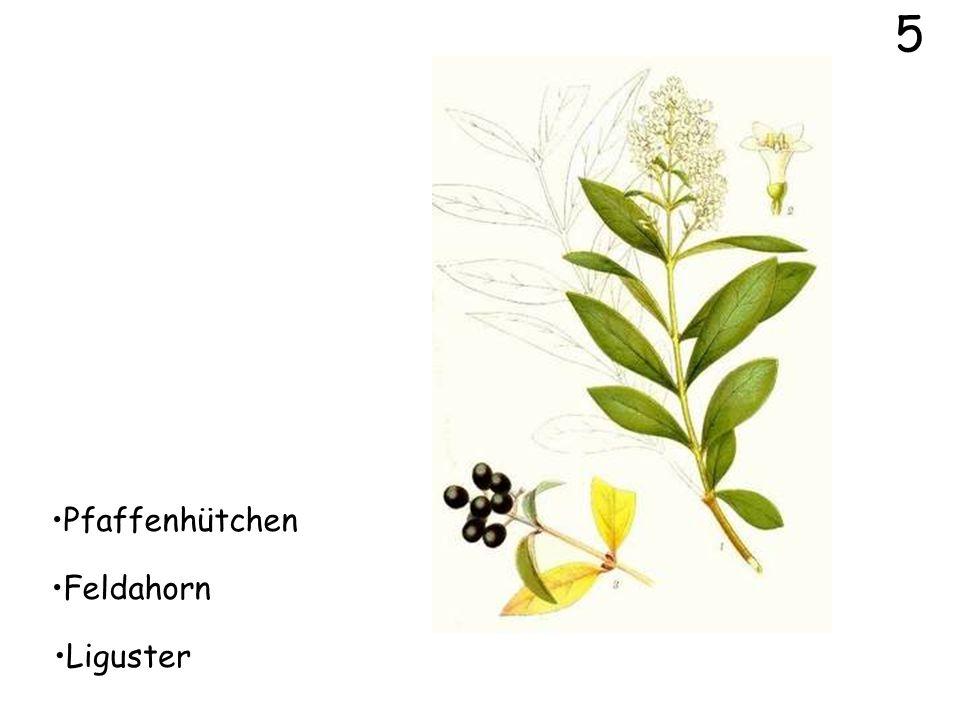 4 Pfaffenhütchen Feldahorn Eiche
