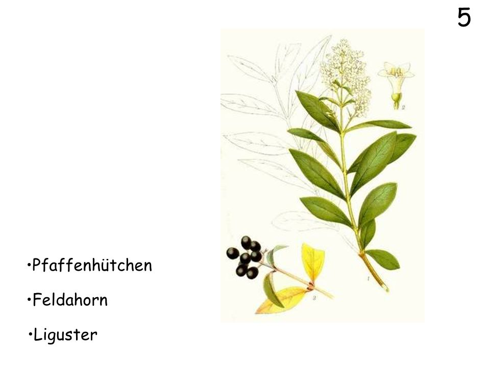 14 Spitzahorn Feldahorn Bergahorn