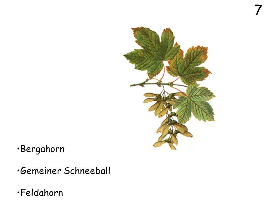 5 Liguster Pfaffenhütchen Feldahorn