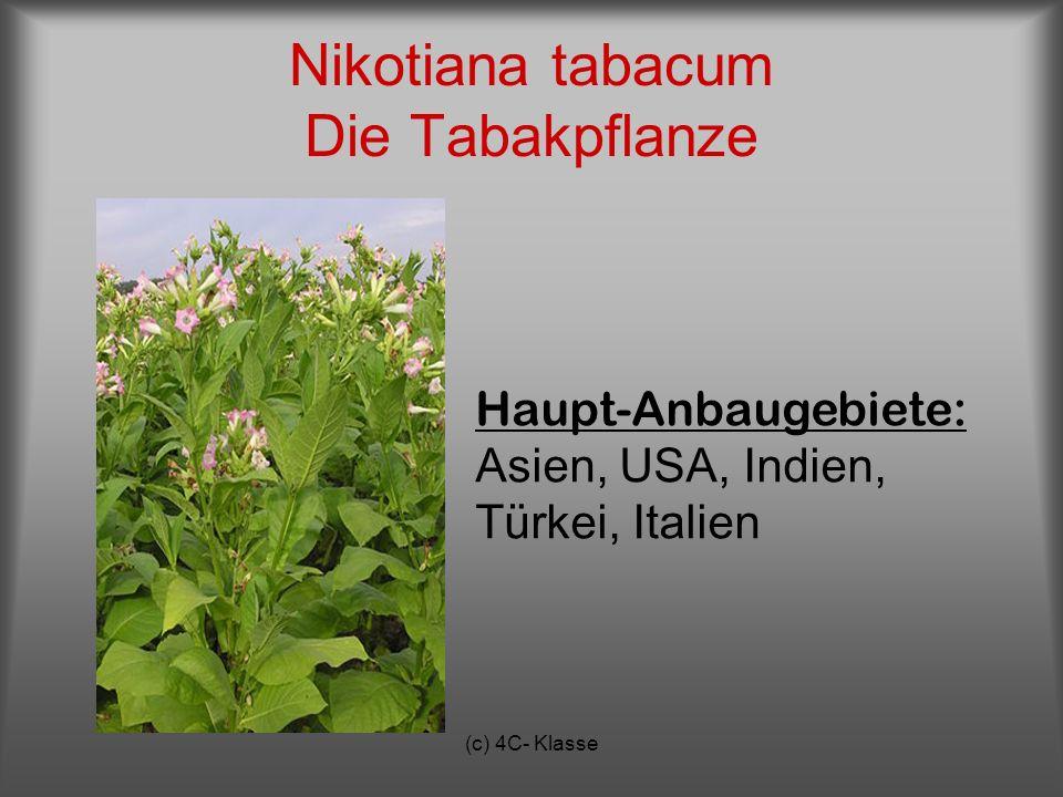 (c) 4C- Klasse Nikotiana tabacum Die Tabakpflanze Haupt-Anbaugebiete: Asien, USA, Indien, Türkei, Italien