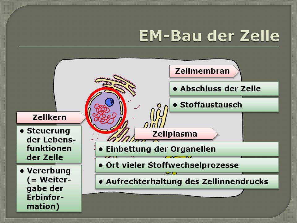 Zellkern Zellplasma Zellmembran Abschluss der Zelle Stoffaustausch Einbettung der Organellen Ort vieler Stoffwechselprozesse Aufrechterhaltung des Zel
