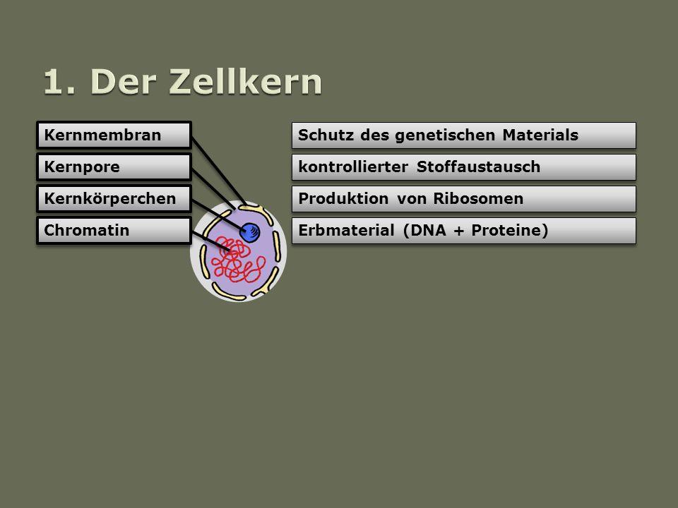Kernmembran Kernpore Kernkörperchen Chromatin Schutz des genetischen Materials kontrollierter Stoffaustausch Produktion von Ribosomen Erbmaterial (DNA