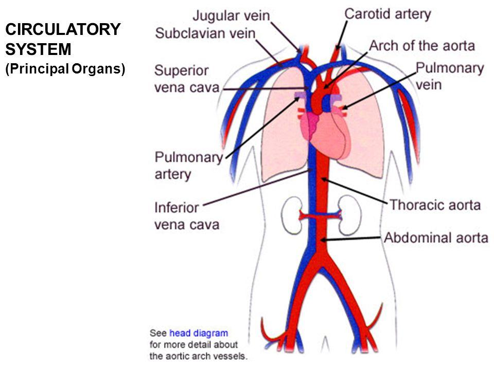 82 CIRCULATORY SYSTEM (Principal Organs)