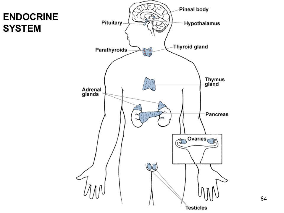 84 ENDOCRINE SYSTEM
