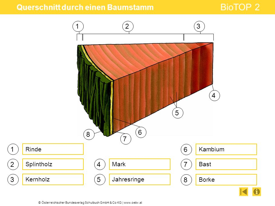 © Österreichischer Bundesverlag Schulbuch GmbH & Co KG | www.oebv.at BioTOP 2 Querschnitt durch einen Baumstamm 1 2 3 4 5 6 Rinde Splintholz Kernholz