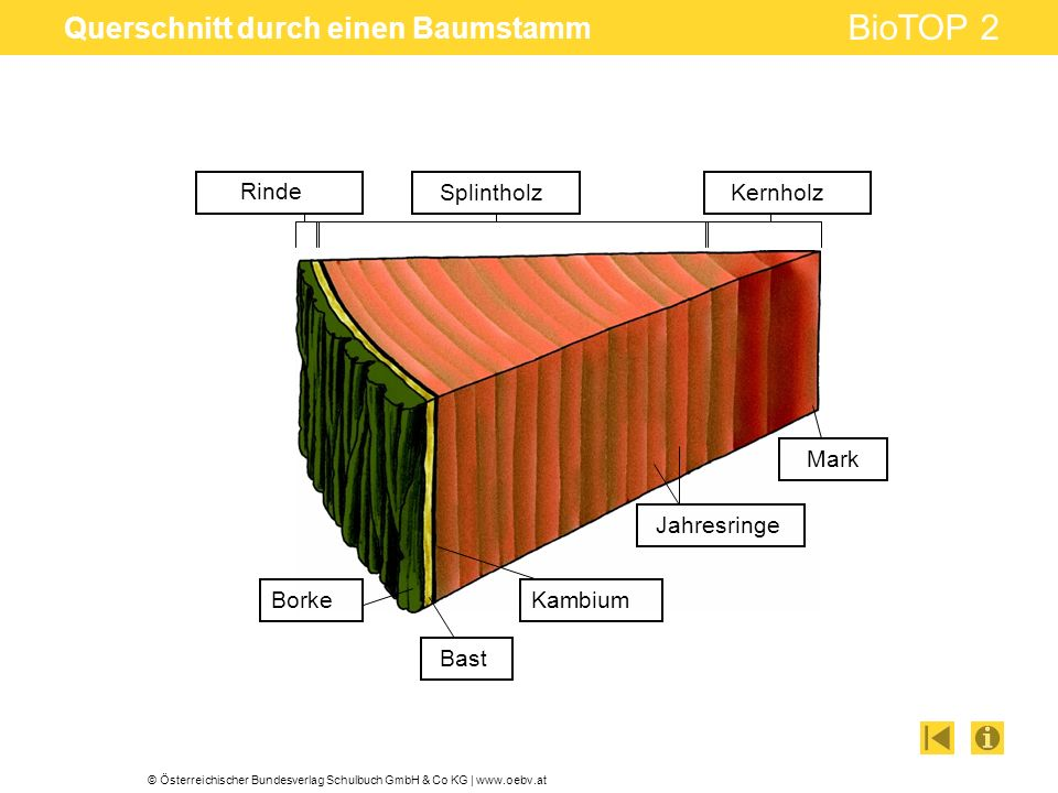 © Österreichischer Bundesverlag Schulbuch GmbH & Co KG   www.oebv.at BioTOP 2 Querschnitt durch einen Baumstamm Rinde SplintholzKernholz Mark Jahresri