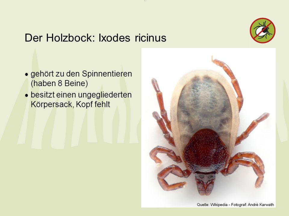 Der Holzbock: Ixodes ricinus gehört zu den Spinnentieren (haben 8 Beine) besitzt einen ungegliederten Körpersack, Kopf fehlt