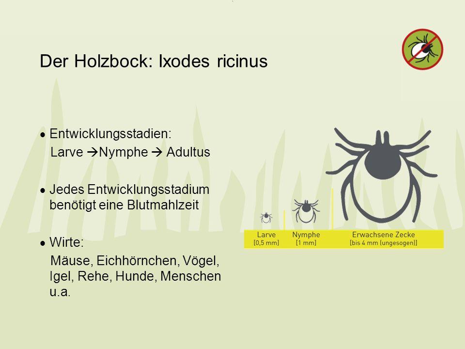 Der Holzbock: Ixodes ricinus Entwicklungsstadien: Larve Nymphe Adultus Jedes Entwicklungsstadium benötigt eine Blutmahlzeit Wirte: Mäuse, Eichhörnchen