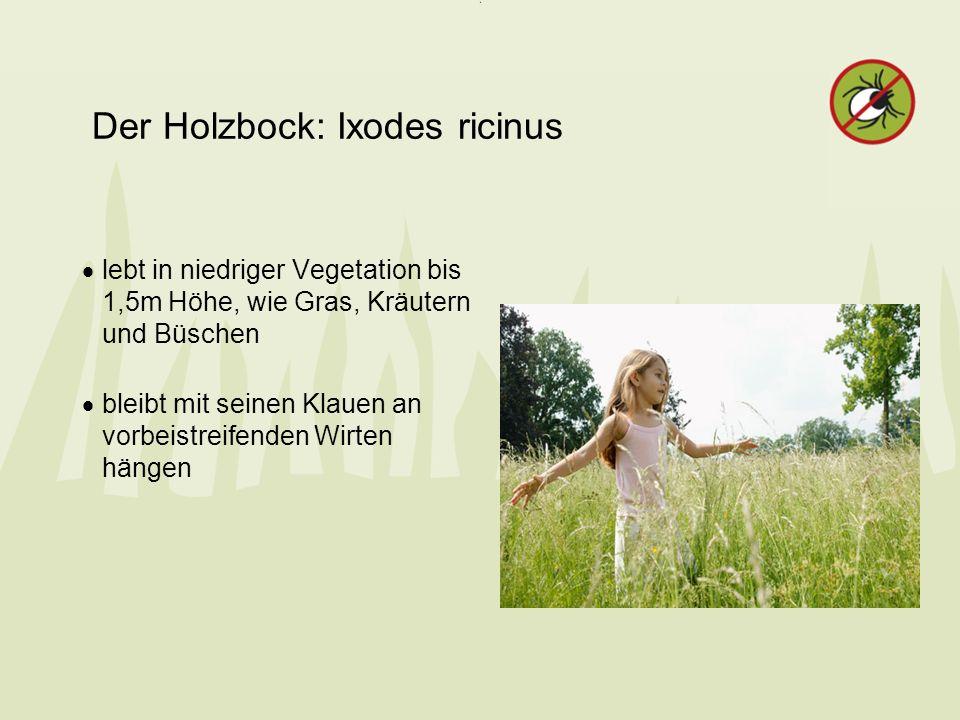Der Holzbock: Ixodes ricinus lebt in niedriger Vegetation bis 1,5m Höhe, wie Gras, Kräutern und Büschen bleibt mit seinen Klauen an vorbeistreifenden