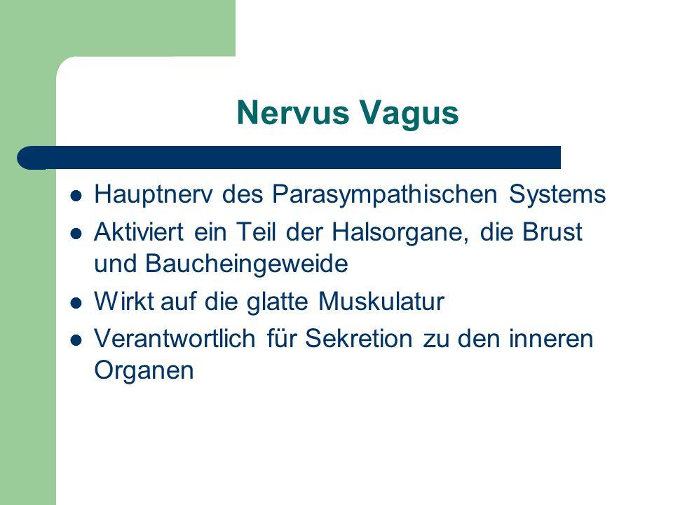 Nervus Vagus Hauptnerv des Parasympathischen Systems Aktiviert ein Teil der Halsorgane, die Brust und Baucheingeweide Wirkt auf die glatte Muskulatur