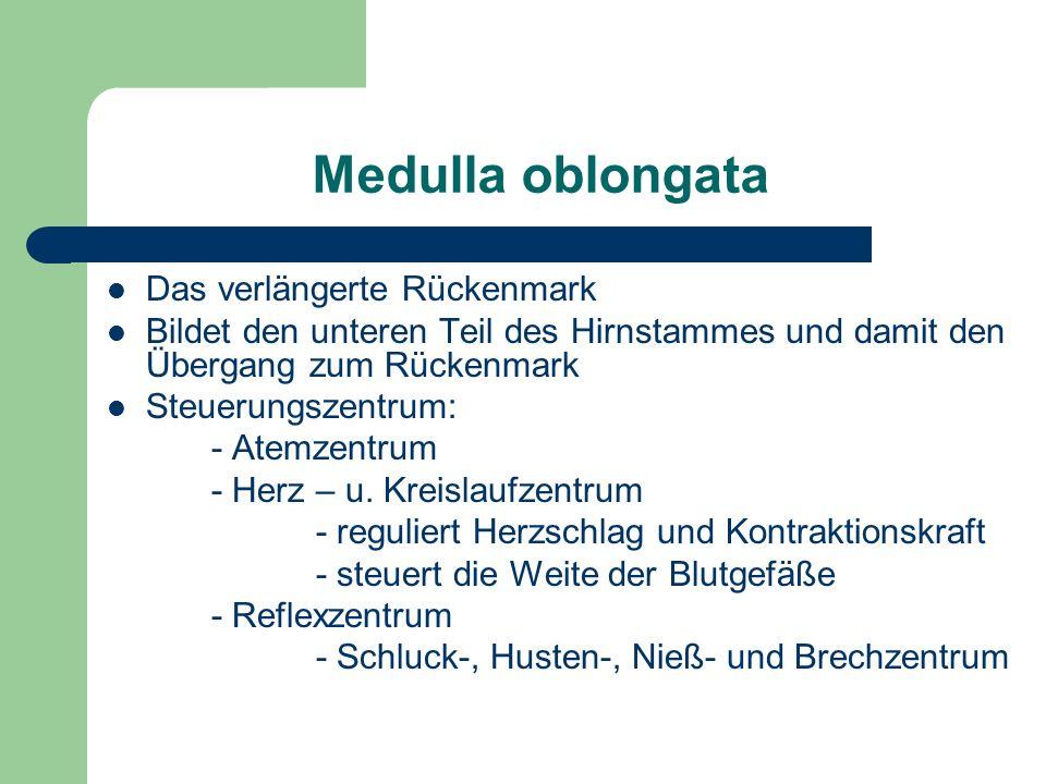 Medulla oblongata Das verlängerte Rückenmark Bildet den unteren Teil des Hirnstammes und damit den Übergang zum Rückenmark Steuerungszentrum: - Atemze