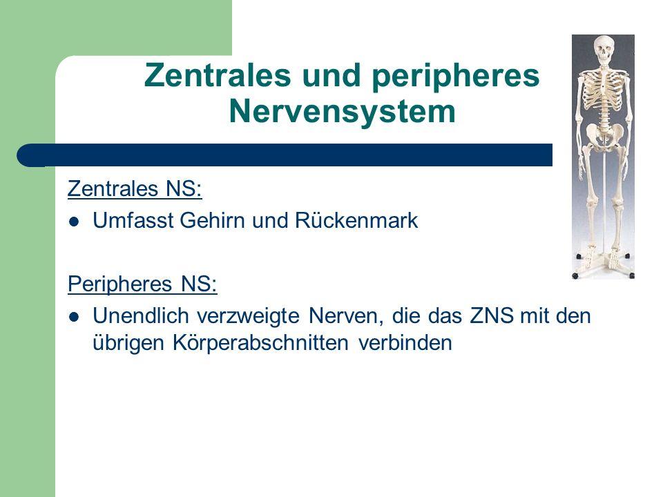 Zentrales und peripheres Nervensystem Zentrales NS: Umfasst Gehirn und Rückenmark Peripheres NS: Unendlich verzweigte Nerven, die das ZNS mit den übri