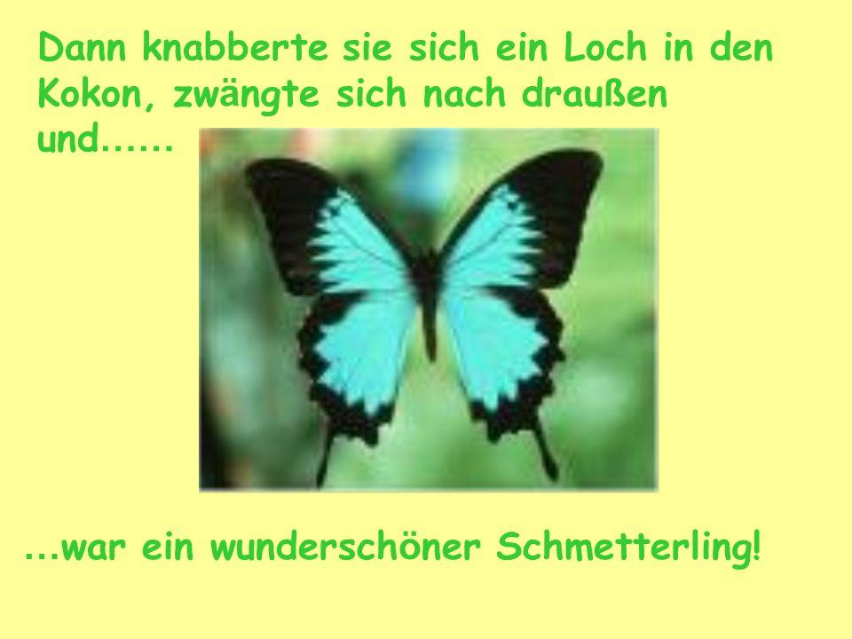Dann knabberte sie sich ein Loch in den Kokon, zw ä ngte sich nach drau ß en und …… … war ein wundersch ö ner Schmetterling!