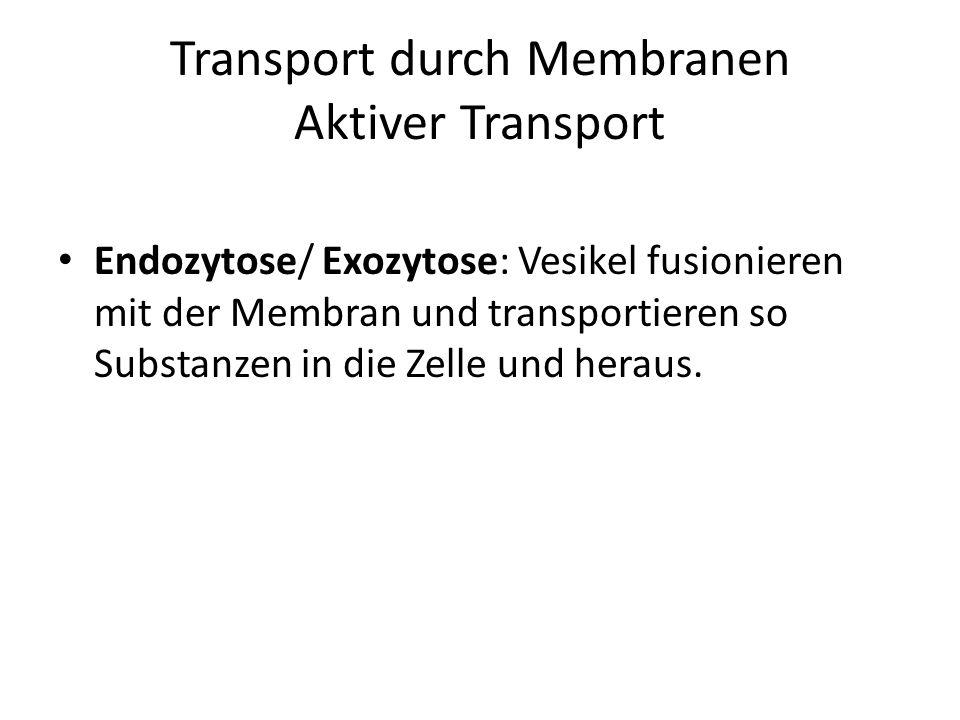 Transport durch Membranen Aktiver Transport Endozytose/ Exozytose: Vesikel fusionieren mit der Membran und transportieren so Substanzen in die Zelle u