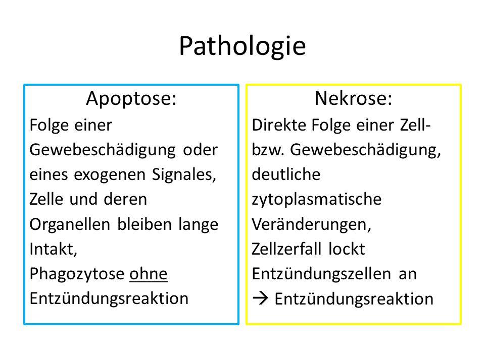 Pathologie Apoptose: Folge einer Gewebeschädigung oder eines exogenen Signales, Zelle und deren Organellen bleiben lange Intakt, Phagozytose ohne Entz