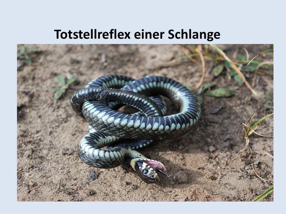 Totstellreflex einer Schlange