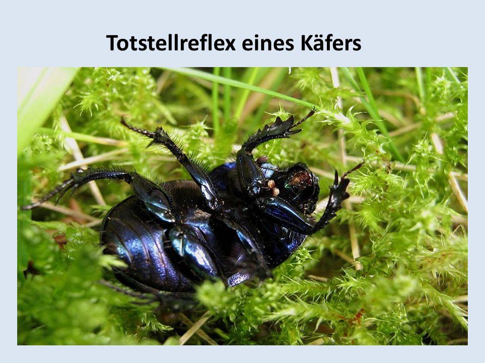 Totstellreflex eines Käfers