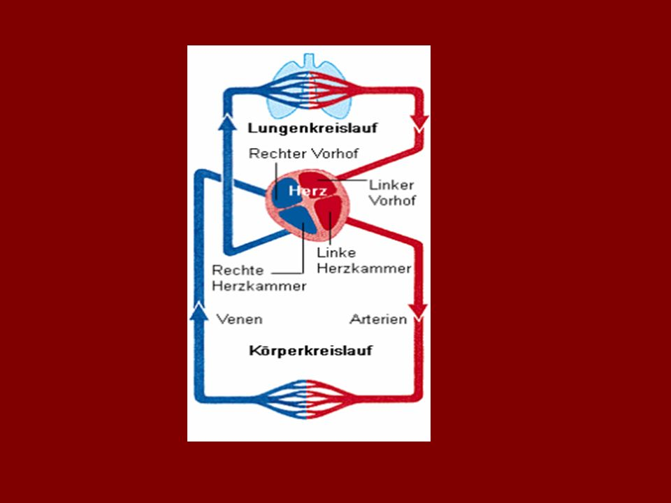 Nach dem Stoffaustausch fließt das sauerstoffarme Blut durch: -die dünnen Venolen -dann durch die immer dicker werdenden Venen zum Herzen hin Die große Körpervene führt das sauerstoffarme, kohlenstoffdioxidreiche Blut zum Herzen.