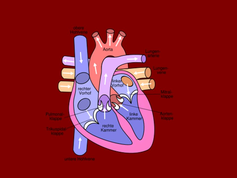 Aufbau des Herzens Das menschliche Herz… -ist ein Hohlorgan und besteht aus Muskulatur -besteht aus einer linken und rechten Hälfte, jede Hälfte hat einen Vorhof und eine Herzkammer -wird durch die Herzscheidewand getrennt