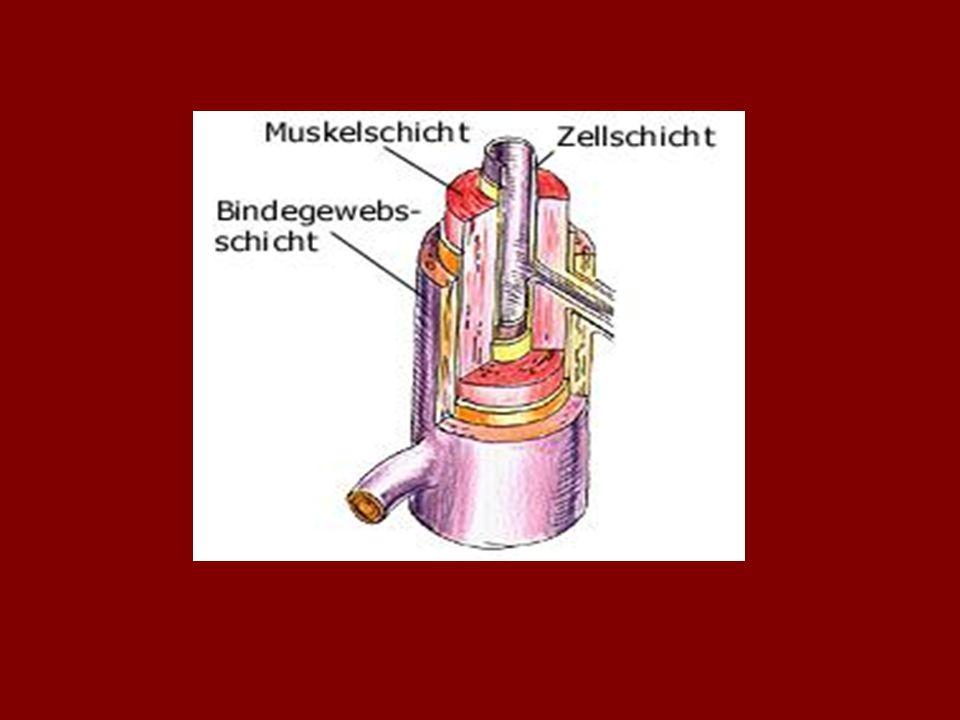 Gasaustausch im Körperkreislauf: Die Aorta teilt sich in zwei Abschnitte: - die Brustaorta -und in die Bauchaorta Die Bauchaorta versorgt die Organe und die unteren Extremitäten mit Sauerstoff & Nährstoffen.