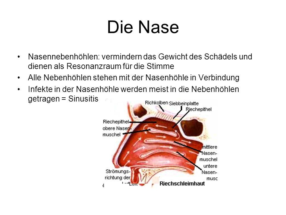 Die Nase Nasennebenhöhlen: vermindern das Gewicht des Schädels und dienen als Resonanzraum für die Stimme Alle Nebenhöhlen stehen mit der Nasenhöhle i