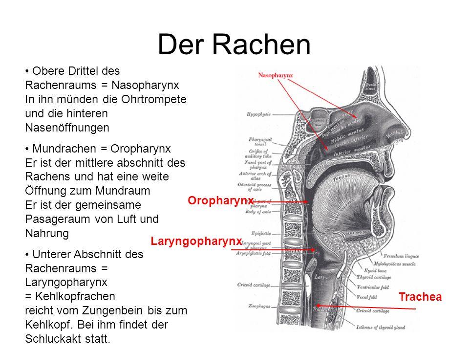 Der Rachen Obere Drittel des Rachenraums = Nasopharynx In ihn münden die Ohrtrompete und die hinteren Nasenöffnungen Mundrachen = Oropharynx Er ist de