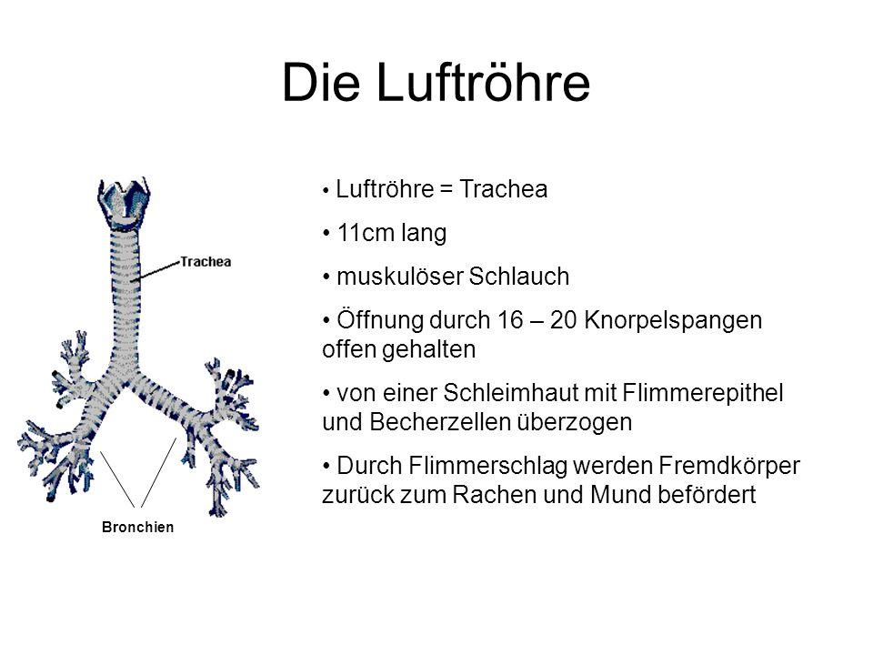 Die Luftröhre Luftröhre = Trachea 11cm lang muskulöser Schlauch Öffnung durch 16 – 20 Knorpelspangen offen gehalten von einer Schleimhaut mit Flimmere