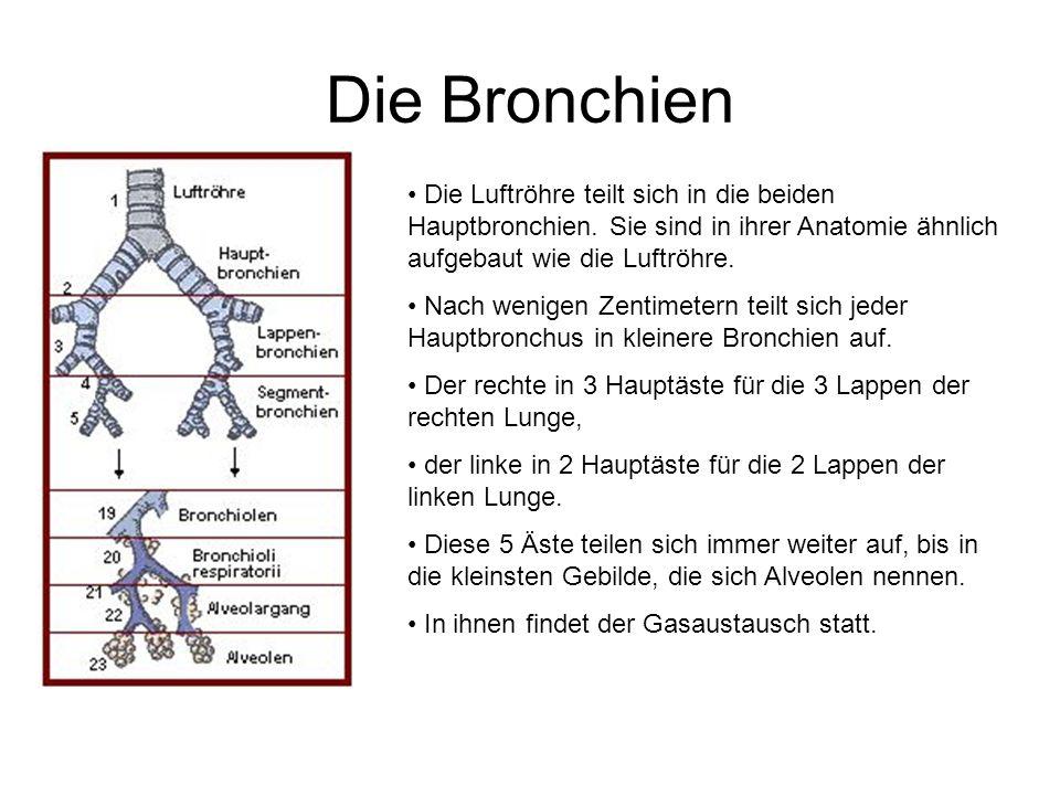 Die Bronchien Die Luftröhre teilt sich in die beiden Hauptbronchien. Sie sind in ihrer Anatomie ähnlich aufgebaut wie die Luftröhre. Nach wenigen Zent