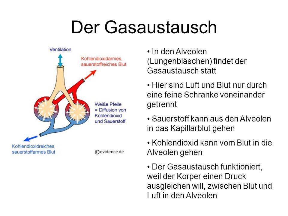 Der Gasaustausch In den Alveolen (Lungenbläschen) findet der Gasaustausch statt Hier sind Luft und Blut nur durch eine feine Schranke voneinander getr