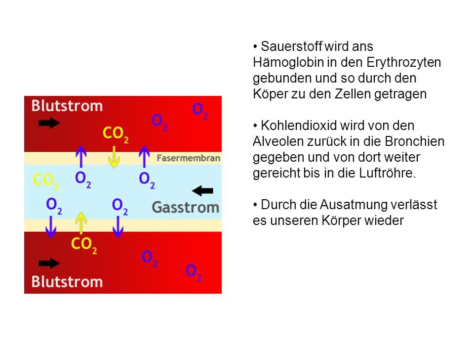 Sauerstoff wird ans Hämoglobin in den Erythrozyten gebunden und so durch den Köper zu den Zellen getragen Kohlendioxid wird von den Alveolen zurück in