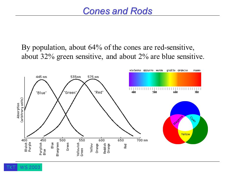 TKTWS 2003 Cones and Rods By population, about 64% of the cones are red-sensitive, about 32% green sensitive, and about 2% are blue sensitive.