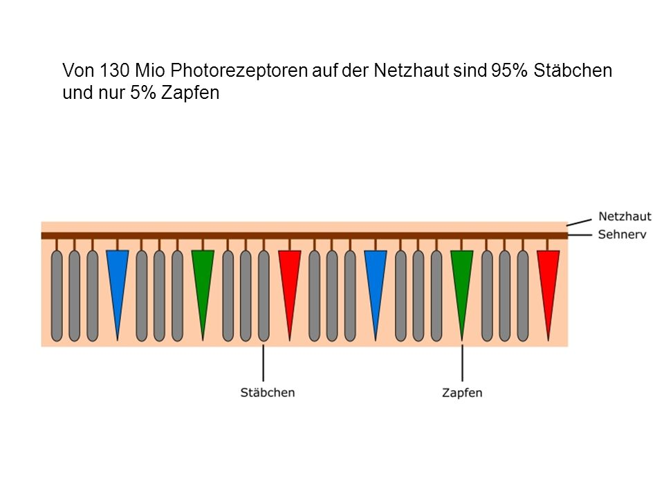 Von 130 Mio Photorezeptoren auf der Netzhaut sind 95% Stäbchen und nur 5% Zapfen